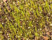 New growth from grass seeds emerging from the top soil in garden lawn