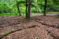 Bäume und Baumstämme im Darßwald