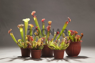 Purple sarracenia flower - carnivorous plant that traps insects