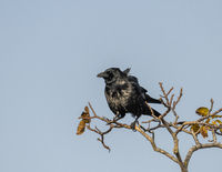 Wind-tousled raven on a branch with autumn leaves against a blue sky