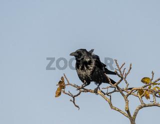 Vom Wind zerzauster Rabe auf einem Ast mit Herbstlichem Laub vor blauem Himmel