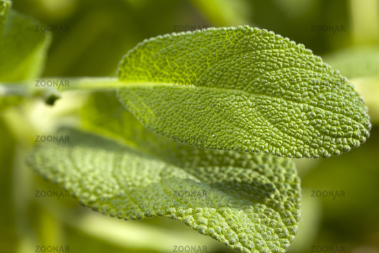 Macro shot of oregano leaf