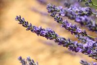Close up purple lavender flowers