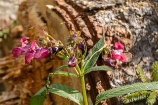 Drüsiges Springkraut in voller Blüte - Nahaufnahme