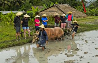 Junge Männer mit einem Wasserbüffel erklären Touristen traditionelle Methoden beim Reisanbau, Laos