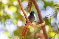 beautiful colored small bird African Paradise Flycatcher