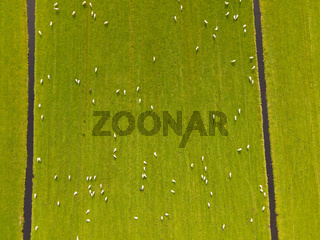 Aerial overview of a field with sheep nature grassland drone shot
