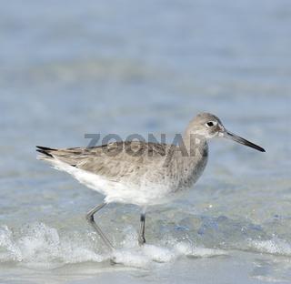 Willet Bird