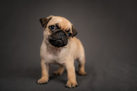 Pug puppy standing in front of the camera in the studio