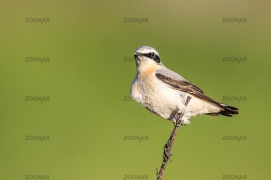 Common wheatear (Oenanthe oenanthe)