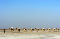 Afar Hirte führt eine Dromedar-Karawane