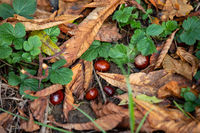 Horse chestnuts on the ground between autumn leaves