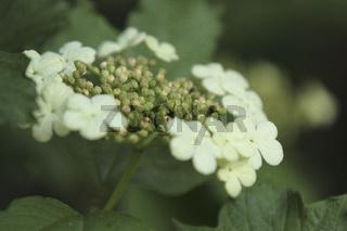 Gewoehnlicher Schneeball (Viburnum opulus)