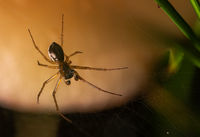 View of the underside of a small spider in its web against a light background