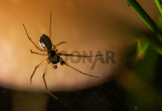 Blick auf die Unterseite einer kleinen Spinne in ihrem Netz vor hellem Hintergrund
