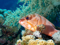 Red banded grouper