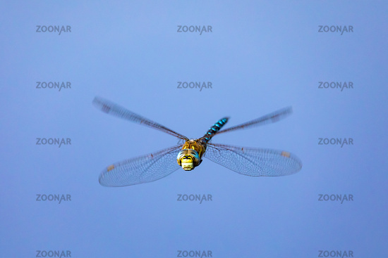 dragonfly, Aeshna cyanea, insect in natural