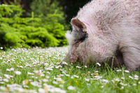 Pig in the grass