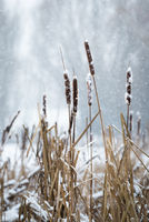 Cob reeds in winter with snowflakes in the back on lake Neusiedlersee in Burgenland