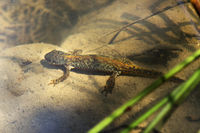 Smooth newt in situ under water