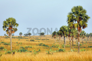 Palmenlandschaft im Murchison Falls Nationalpark Uganda | Landscape with palms at Murchison Falls National Park Uganda