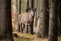 Red deer with growing antlers walking in springtme forest