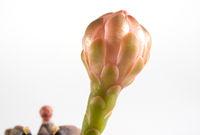 The flower bud of Gymnocalycium Cactus flower