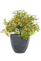 Orangenbäumchen mit reifen Orangen im Topf, freigestellt