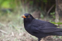 Black Bird in Home Garden