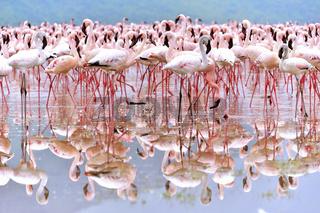 Rosa Zwergflamingos im Spiegel des Bogoria See
