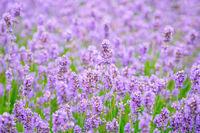 Lavender flower on the field.