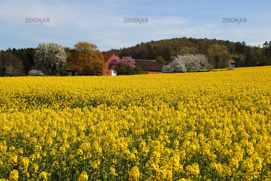 A rapessed field in spring