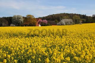 Ein Rapsfeld im Frühling