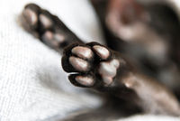 Black oriental cat paws