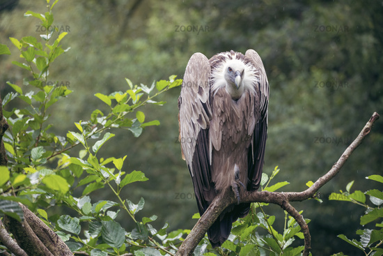 Himalayan vulture or Himalayan griffon vulture