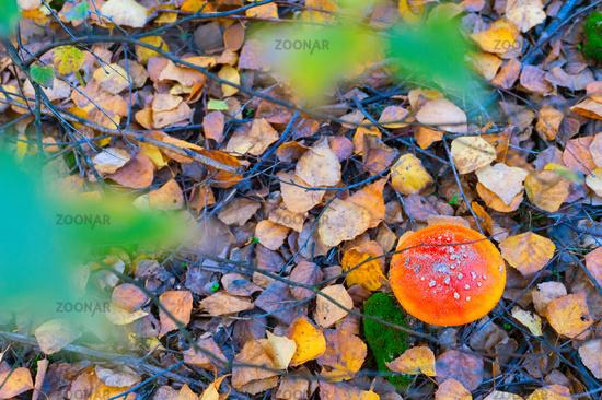 Amanita mushroom autumn forest fall