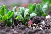 Macro view of new pea shoot leaves