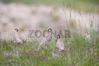 chukar partridge family in the grass