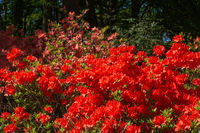 Abstract background of blooming rhododendron of red color.