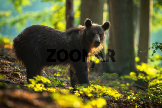 Calm young brown bear watching from side view in summer forest at sunrise.