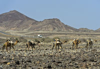 Dromedary caravan of the Afar nomads moving through a stone desert, Afar region, Ethiopia