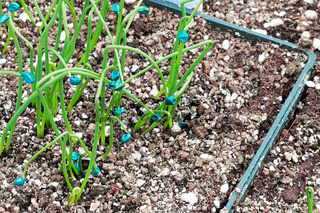 Tiny onion seedlings sprout in nursery pots