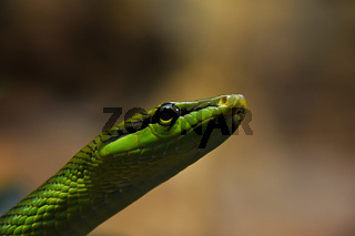 Red tailed green ratsnake in tree leaves