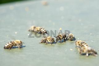 Honigbienen auf Nahrungssuche am Boden