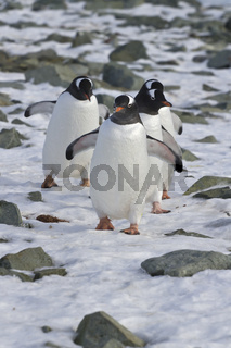 Gentoo penguin group coming from the colonies to the ocean