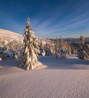 Sunrise mountain skiing freeride slopes and fir tree groves near alpine resort.