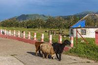Xinjiang goats roaming a pathway in Kalajun Grassland
