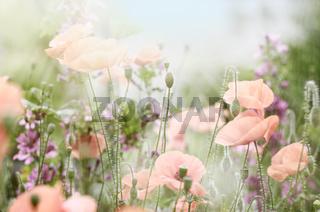 verträumte Mohnblumen in einem Garten