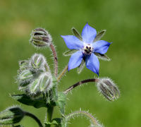 Borretsch, Borago, officinalis