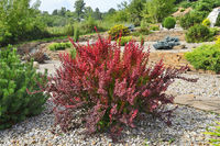 Cultivar Thunbergs barberry (Berberis thunbergii